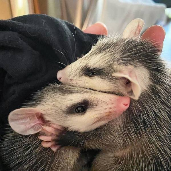 Rescued Opossums Are Some Of The Sweetest Animals Out There!
