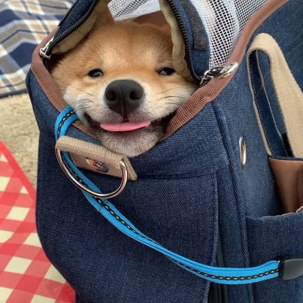 This Shiba Inu Smiles All The Time!