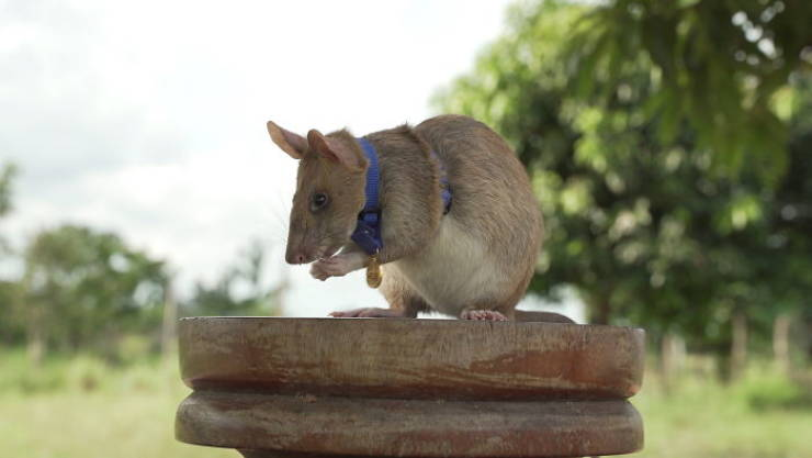This Is Magawa, And He Is A Medal-Winning Landmine-Detecting Rat From Cambodia
