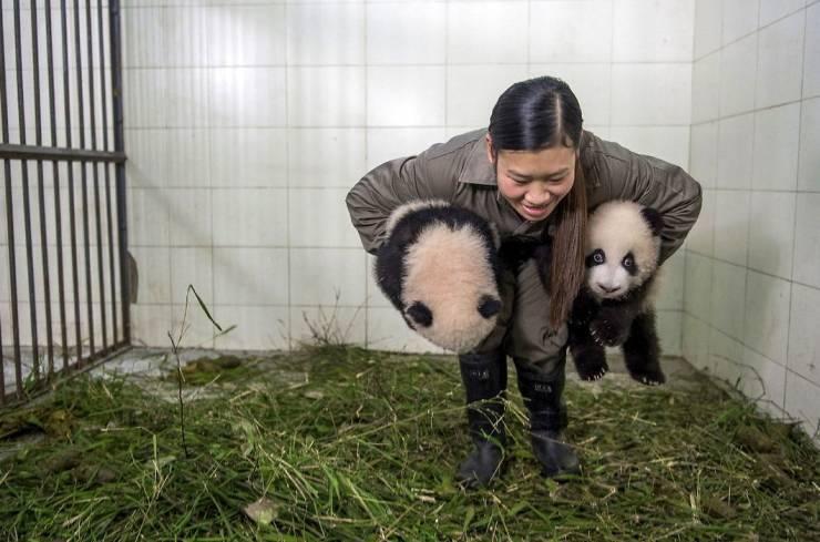 Wanna Become A Panda Nanny?