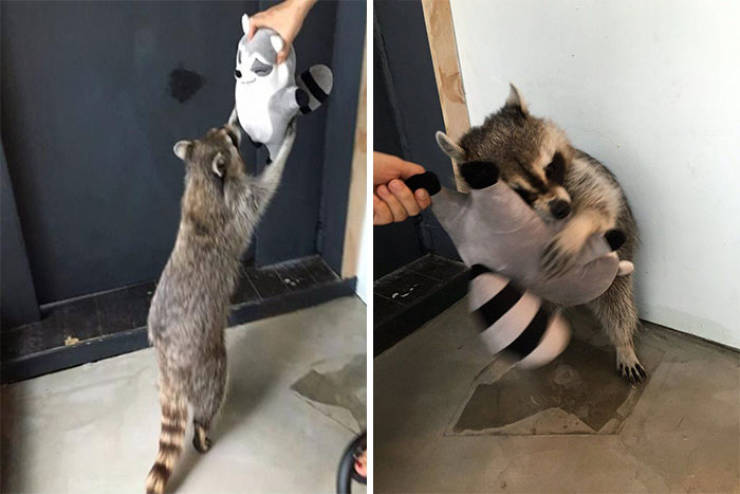 Raccoons Are So Adorable!