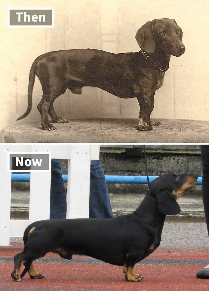 Dog Breeds These Days Vs 100 Years Ago