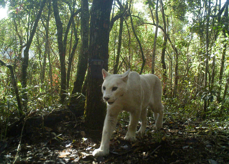 These Are The First And Only Photos Of A Leucistic Puma!