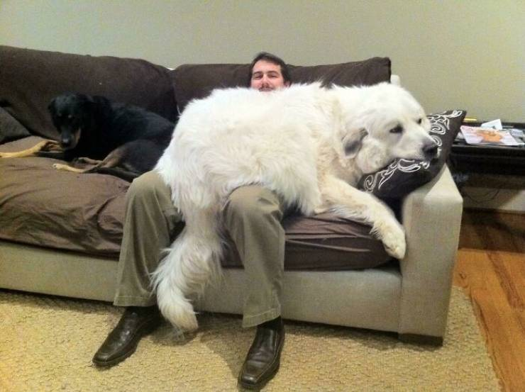 These Dogs Are BIG! Like REALLY Big!