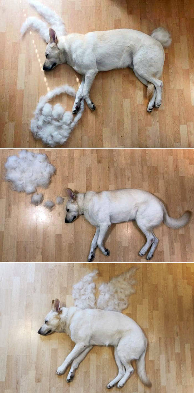 Some Dogs Are Shedding Like Crazy!