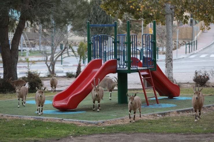 Nubian Ibex Have Occupied An Israeli Town