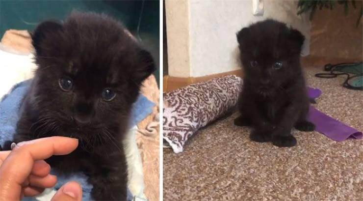 This Once-Abandoned Panther Is A Big Domestic Cat Now!