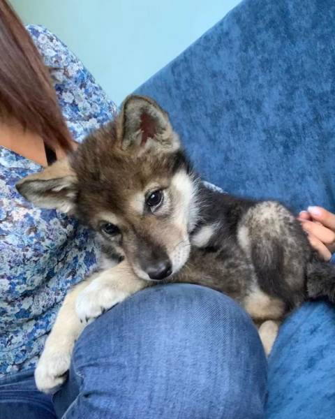 Woman Adopts An Abandoned Wolf Pup, They Become Inseparable Friends