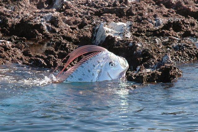 Oarfish – a very lengthy fish (25 pics + 2 videos)