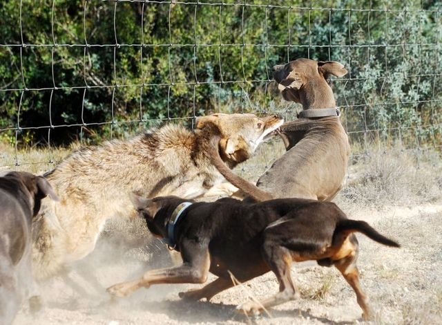 Dogs against a coyote (4 pics)