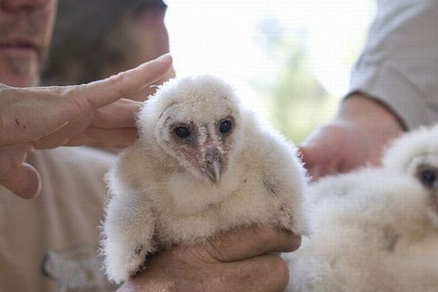 Baby Barn Owl (21 pics + video)