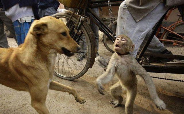 A monkey tried to play a joke on a dog (2 pics)