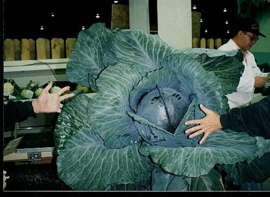Giant Vegetables (26 pics)