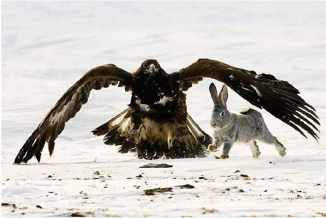 Falcon hunt in Kazakstan  (13 pics)
