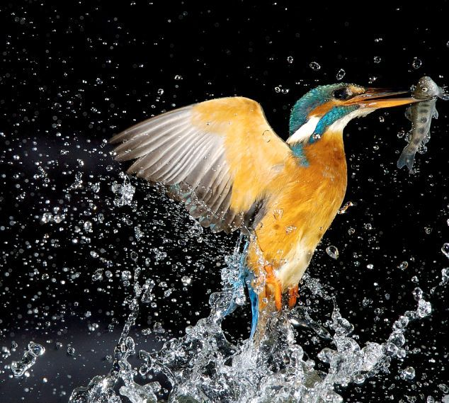 Kingfishers – little killing machines (4 pics)