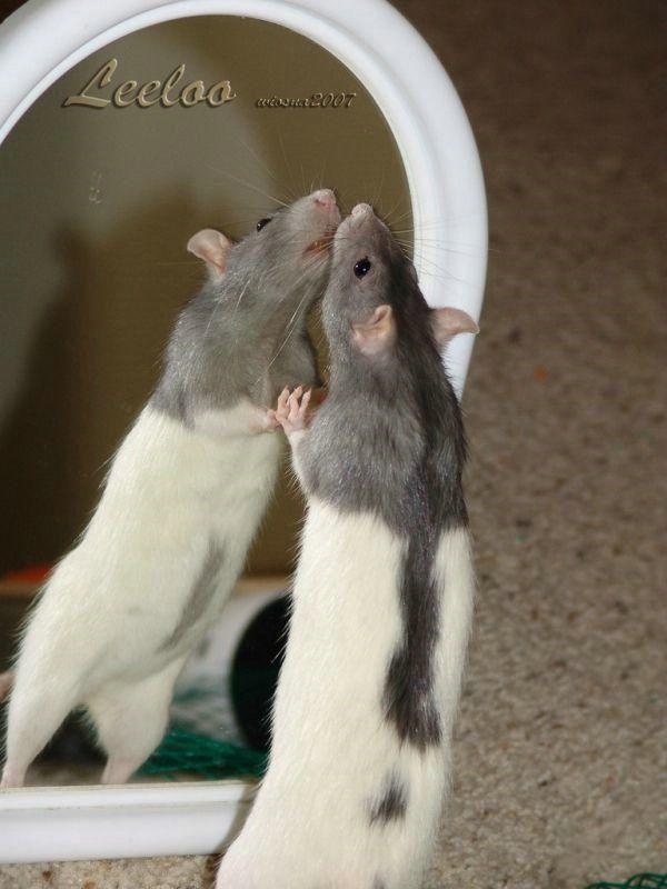 Rat photos compilation (56 pics)