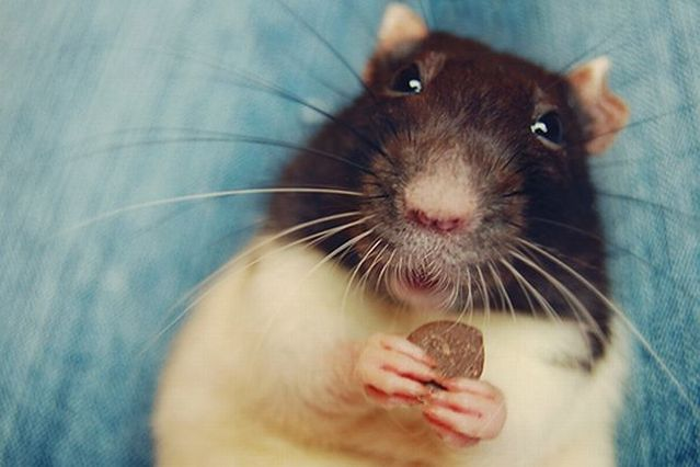 Rat photos compilation (56 pics)