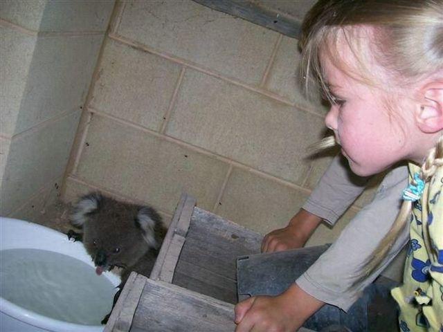 Koala rescue (4 pics)