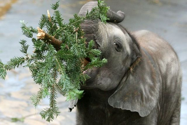 Christmas trees as dinner for elephants (6 pics)