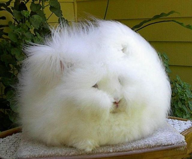 English angora rabbits...