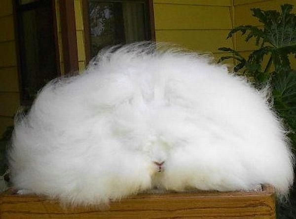 English angora rabbits (47 pics)