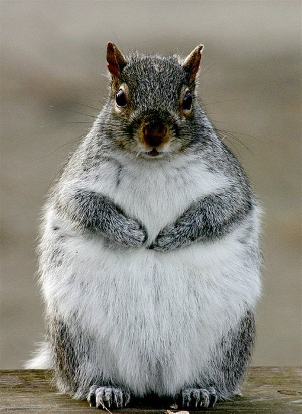 Fat animals (46 pics)