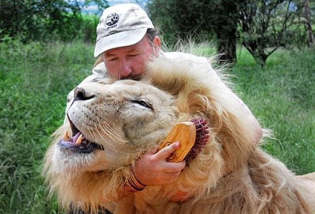 The lion whisperer (5 pics)