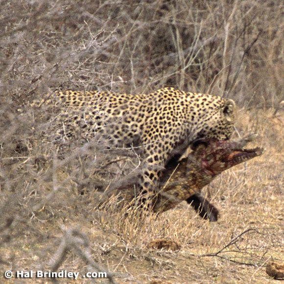 Great Fight - Leopard VS crocodile. Full version (34 pics + 1 video)