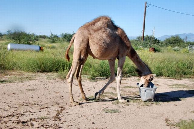 The funniest camel in the world (22 pics)