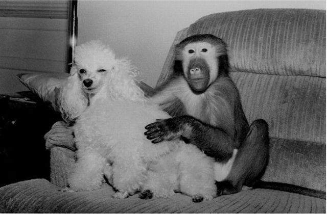 What if monkeys lived as humans? (19 pics)