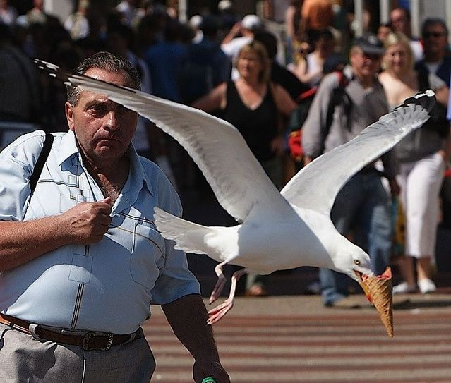 Seagull, nasty thieves (14 pics)