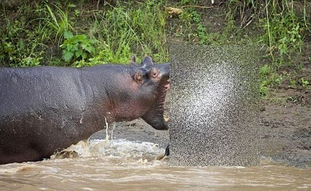 Hippopotamus attacks (2 pics)
