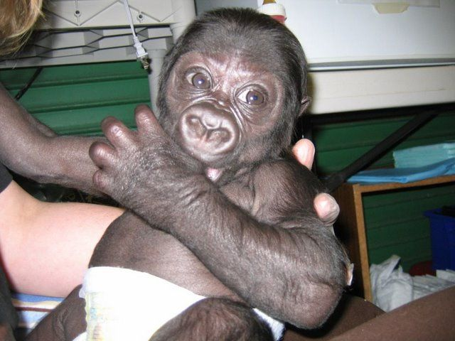 Positive emotion of the day. Baby Gorilla (22 pics)