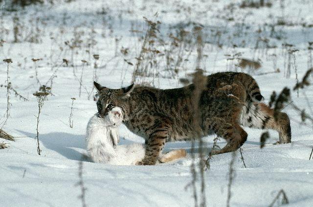 Hunting lynx (12 pics)
