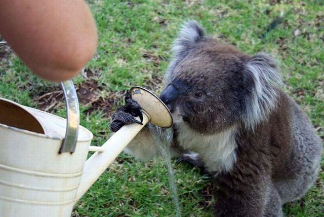 Drinking koalas (21 pics)