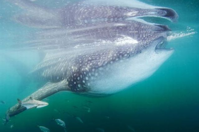 Whale shark (37 pics + 1 video)