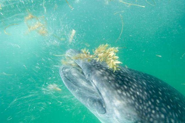 Whale shark (37 pics + 1 video)