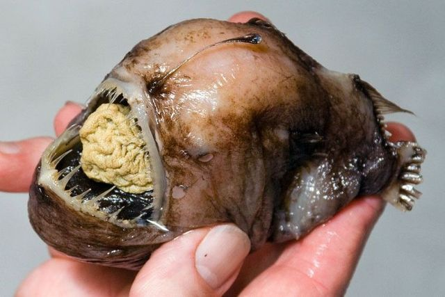 Series of the most horrible fish with teeth (27 pics)