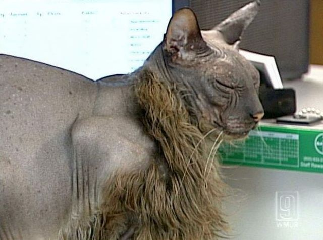 The ugliest cat in the world (7 pics)