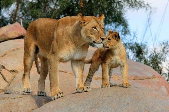 Beautiful wild cat family (17 pics)