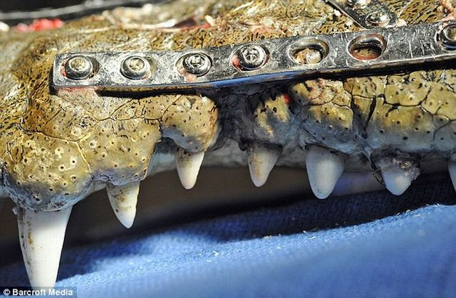 """Robo Croc"" the crocodile with metal plates and 41 screws in his head (4 pics)"