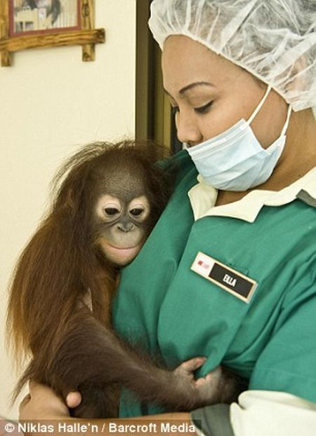 Welcome to the world's only orang-utan hospital (11 фото)