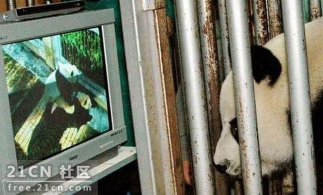 Pandas are watching porn (6 pics)