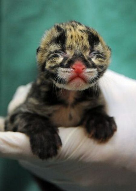 Rare clouded leopard cubs were born at the zoo (10 pics)