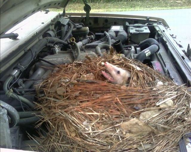 Unexpected guest under the hood (5 photos)