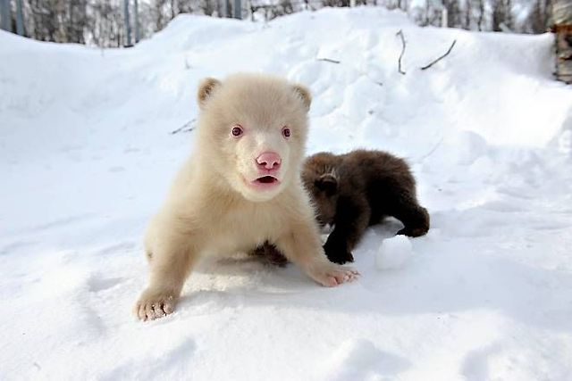 Two bear cubs - Salt and Pepper (14 pics)