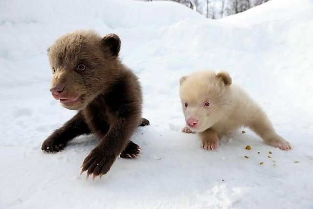 Two bear cubs - Salt and Pepper (14 pics)