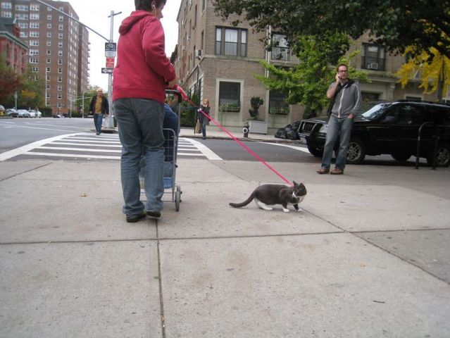 Funny situations where domestic cats go walking on the street (44 photos)