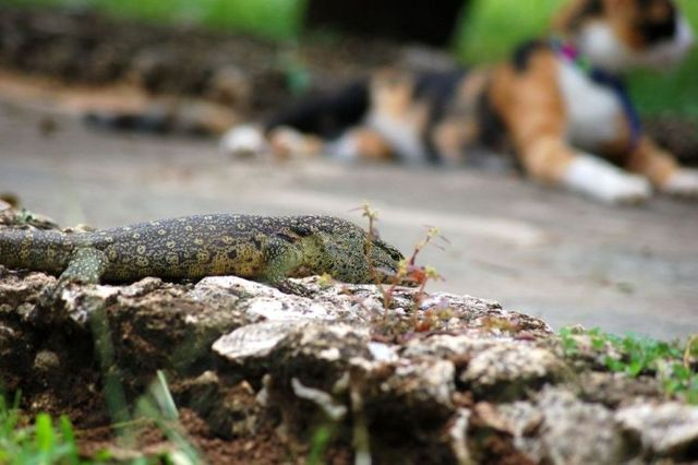 Mortal Combat of a cat and a lizard ;) (7 pics)