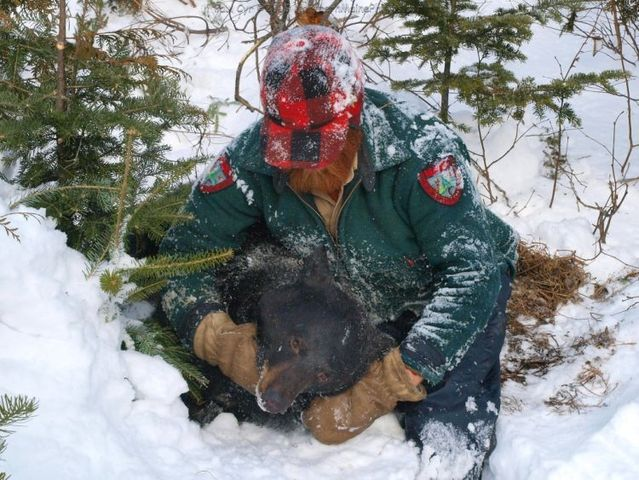Maine Bear Monitoring 2009 (24 pics)